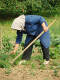 Agricultural work. A grandma with scarf working in her garden Stock Photo