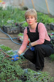 Agricultural worker in a greenhouse with tomato plant Royalty Free Stock Photos
