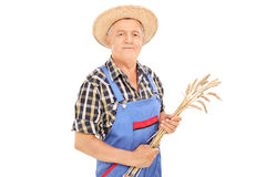 Agricultural worker holding bunch of wheat straws Royalty Free Stock Photography