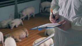 Agricultural worker is making notes about the pigs