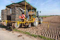 Agricultural worker planting asparagus Stock Image