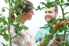 Agricultural Workers Checking Tomato Plants Using Digital Tablet Stock Photos