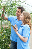 Agricultural Workers Checking Tomato Plants Using Digital Tablet Stock Image
