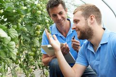 Agricultural Workers With Clipboards Checking Tomato Plants. Agricultural Workers Checking Tomato Plants royalty free stock photography