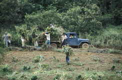Agricultural workers collecting corn, Brazil. Royalty Free Stock Photos