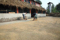 Agricultural workers drying rice Stock Photos
