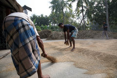 Agricultural workers drying rice after harvest Royalty Free Stock Photos