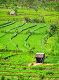 Agricultural Workers in Teraced Rice Fields Royalty Free Stock Photos
