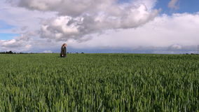 Agriculturalist agronomist woman walk between wheat plants field stock footage