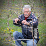 Agriculture, élagage dans le vignoble, fonctionnement d'homme supérieur Image stock