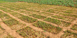 Agriculture. A vegetable garden whit a good organization in the African`s heart Stock Photography