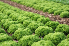 Agriculture. A field of green cabbage Stock Photography