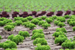 Agriculture. A field of green and red salad Stock Images