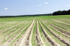 Agriculture. Sow the agricultural field on which beside was sprouted with plants (onions Stock Image
