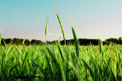 Agriculture. Agricultural field on which grain plants grow Royalty Free Stock Photo