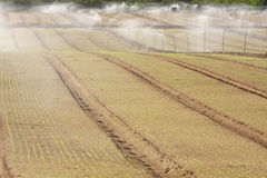 Agriculture. Rows of an early plantation being irrigated Royalty Free Stock Photography