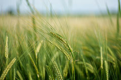 Agriculture. Fresh greem crops on a field Royalty Free Stock Photo