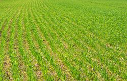 Agriculture. Fresh green wheat field with rows of plants Royalty Free Stock Photos