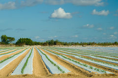 Plantation covered in plastic film Royalty Free Stock Photo