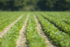 Neat Rows of New Green Plants Stock Photo