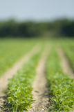 Rows of Leafy Spring Crops Stock Image