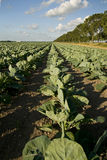 Agriculture. With cabbages in landscape Royalty Free Stock Images