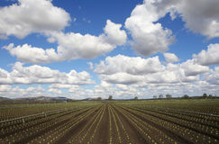 Agriculture. Lettuce fields under a dramatic sky, NSW, Australia Royalty Free Stock Image