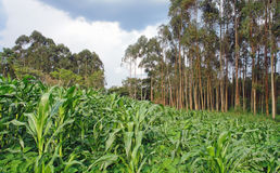 Agriculture in Africa Royalty Free Stock Image