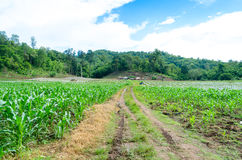 Agriculture. Agiculture at Kamphaengphet, Thailand, khlong wang chao national park Royalty Free Stock Photo