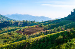 Agriculture. Agiculture on mountain at Chiang Mai, Thailand Royalty Free Stock Image