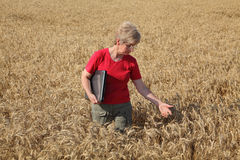 Agriculture, agronomist examine wheat field Royalty Free Stock Image