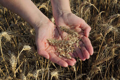 Agriculture, agronomist examine wheat field Royalty Free Stock Photography