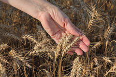Agriculture, agronomist examine wheat field Stock Photos