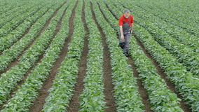 Agriculture, agronomist or farmer examine soy bean field stock video footage