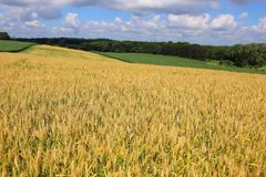 Agriculture, agronomy and farming background.Agriculture, agron. Rural landscape with riping wheat field on a foreground. Beautiful summer countryside nature royalty free stock photo
