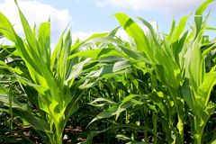 Agriculture, agronomy and farming background. Rural landscape with cloudy blue sky over the field of growing corn close up royalty free stock photos