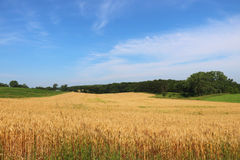 Agriculture, agronomy and farming background,. Summer countryside landscape with field of wheat on a foreground. Wisconsin, Midwest USA. Harvest concept stock photography