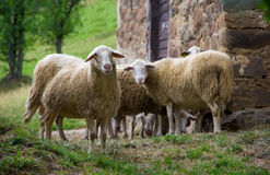 Agriculture, animal, background, close, countryside, cute, domestic, face, farm, farming, field, front, fur, gaze, grass, green, h. Close up view of sheep on a Stock Photos
