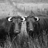 Agriculture, Animals, Black Stock Photography
