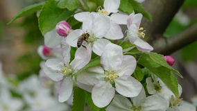 Agriculture, apple tree flowers with bumblebee and bee stock video