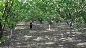 Agriculture, apricot orchard stock footage