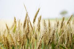 Agriculture, Arable, Barley Royalty Free Stock Image