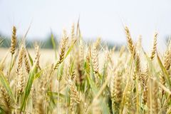 Agriculture, Arable, Barley Stock Photo