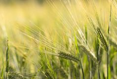 Agriculture, Arable, Barley Stock Photos