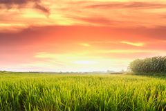 Agriculture area rice fields. Of green with   in morning orange light sunrise Stock Image