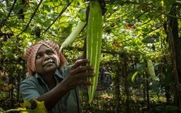 Agriculture au Kerala moisson Images stock