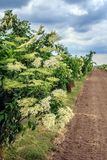 Agriculture in Austria. In May, the Elderberry fields are flowering in rural Burgenland, Austria Stock Photo