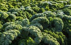 Agriculture avec le chou frisé végétal d'hiver sur un champ Photo stock