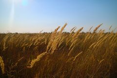 Agriculture backdrop, blue sky and wheat field, landscape stock image