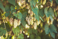 Agriculture Background - crop of fresh ripe hop Royalty Free Stock Photography